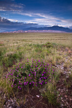 A Blooming Flower On The Flats To The South Of The Dunefield In Great Sand Dunes National Park.
