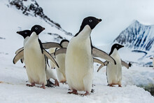 A Group Of Adelie Penguins Walk Across The Ice And Snow In Antarctica.