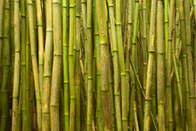 A Thick Bamboo Forest In Haleakala National Park On Maui.