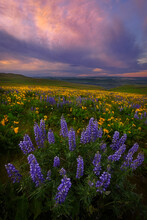 Colorful Sunrise Over The Wildflowers Of The Columbia River Gorge In Washington