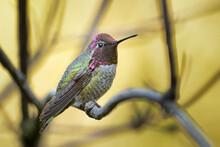 A Anna's Hummingbird Perches