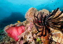 A Pink Anemonefish On A Bright Red Anemone..