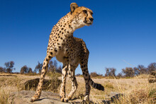 A Cheetah Climbing On The Rocks Of A Dry River Bed In Namibia.