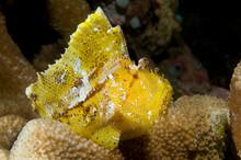 A Yellow Leaf Scorpionfish.
