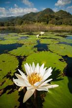 A Bee Pollinizes A Water Lily On Lake Yojoa, Honduras.