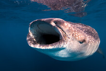 Mexico, Quintana Roo. A Whale Shark With The Mouth Open Feeding Near Isla Mujeres.