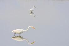 Great Egret (Casmerodius Albus) Looking For Food On Water. Laem Pak Bia. Petchaburi Province. Thailand.