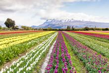 Planting Tulips In Patagonia Argentina