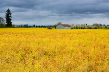 A Farm House Stands Next To Golden Fields Of Flowers In Oregon's Willamette Valley, Just South Of Portland, Oregon.