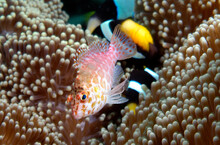A Pixie Hawkfish On An Anemone.