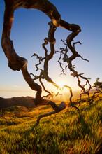 Fallen Scrub Oak Skeleton, Santa Catalina Island, Channel Islands, California