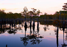 George L. Smith State Park, Twin City, GA: Cypress Trees And Pink Clouds Reflect Into Placid Lake At Sunset