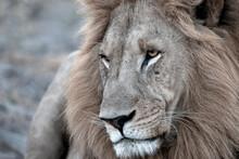 A Lion Portrait Taken In Botswana.