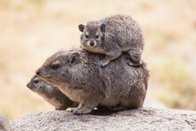 A Family Of Rock Hyrax Snuggle Up And Pile Up To Keep Warm In The Early Morning. Taken In The Serengeti National Park In Tanzania.
