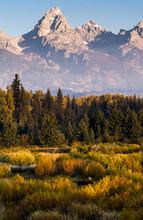 A Bull Moose Wanders Through Willow Trees At Blacktail Ponds In Grand Teton National Park, Wyoming.