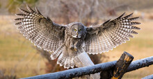 A Great Gray Owl Lands On A Buck And Rail Fencepost In Jackson, Wyoming.