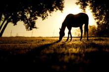 A Horse Nibbles Grass At Sunrise, Lafayette Colorado.