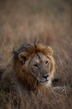 A Male Lion Rests In The Early Morning In Kenya.