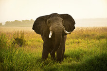 An Adult Elephant In The Early Morning Hours Taking A Closer Look In The Masai Mara, Kenya.