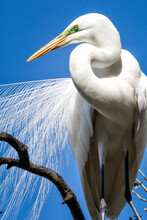 Great Egret In Mating Plumage At The Alligator Farm, St. Augustine, Florida.