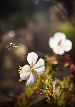 A Native Pollinator Flies Towards A Flowering Plant On Land That Has Been Removed From Cattle Grazing Some 17 Years. These Pollinators Are Essential To The Health Of The Ecosystem And Vulnerable In More Heavily Grazed Areas. (Photo/Morgan Heim)