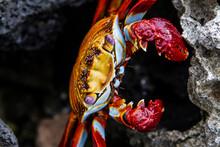 Portrait Of A Sally Lightfoot Crab In The Galapagos Islands, Ecuador.