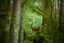 A Black-tailed Deer (Odocoileus Hemionus Columbianus) Stands Alone In An Old Growth Forest Along Cascade River Road, Mount Baker-Snoqualmie National Forest, Washington.