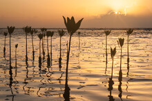 Mangrove Seedlings Planted By Villagers Of East End In Cayos Cochinos To Help Evade Strong Winds And Rough Seas That Affect Their Small Beach, Honduras.