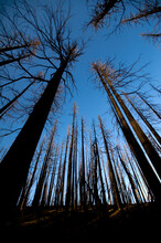 A Forest Of Burned Trees From The Dollar Lake Fire On Mt. Hood, Oregon.