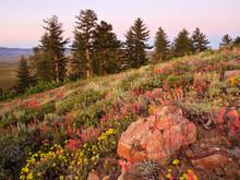 Eastern Sierra Nevada Wildflowers, California
