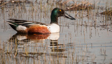 Male Northern Shoveler Duck. Wetland Along The Rocky Mountain Front, Montana.