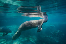 Portrait Of A West Indian Manatee Or Sea Cow (Trichechus Manatus), Crystal River, Three Sisters Spring, Florida.