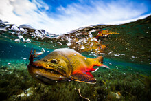Underwater View Of A Male Brook Trout In Patagonia Argentina.