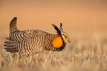 A Male Greater Prairie Chicken (Tympanuchus Cupido) Performs His Courtship Display On A Display Ground, Or Lek, In The Nebraska Sandhills.