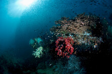 Schools Of Sardines Swim Above Soft Coral Reefs In Raja Ampat.