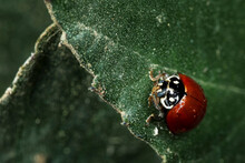 A Macro Photograph Of A Ladybug With Dew Drops On Leaf.