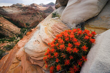 Indian Paintbrush Flowers, Gifford Canyon, Zion National Park