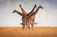 Four Giraffes Briefly Come Together On The Plains Of The Masai Mara, Kenya.