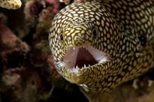 A Whitemouth Moray Eel.