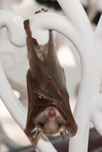 A Baby Epauletted Fruit Bat Dangles From The Back Rest Of A Wrought Iron Chair, Kruger National Park In South Africa.