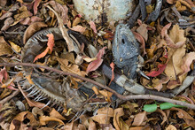 A Dead Male Green Iguana (Iguana Iguana) Killed In Southern Florida By An Unusual Cold Snap.
