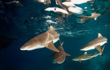 Black Tip Reef Sharks In The Solomon Islands.