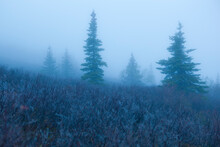 Spiderwebs And Trees In Mist, Chugach State Park, Alaska.