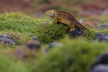 A Land Iguana Rests On The Rocks Surrounded By Green Shrubs In The Galapagos Islands, Ecuador