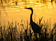Great Blue Heron Silhouetted Against A Golden Sunrise In A Wetland In Florida