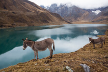 Donkeys In A Comical Portrait As If Looking In Lake Carhuacocha In The Andes Mountains.