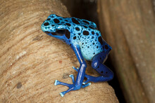 A Poison Dart Frog Sitting On A Bare Tree Branch. Captive.