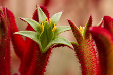 Exotic, Red Fuzzy-looking Flowers Look Like Mouths Gaping Open.
