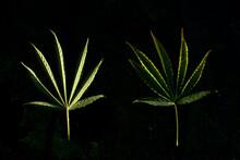 A Marijuana Plant Growing Outdoors Somewhere Near Mendocino, CA.