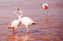 Two Flamingos In The Red Lake Colorado In SW Bolivia Look Like They're Kissing.